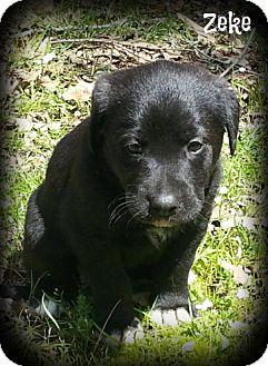 Great Pyrenees/Labrador Retriever Mix Puppy for adoption in Glastonbury, Connecticut - Zeke