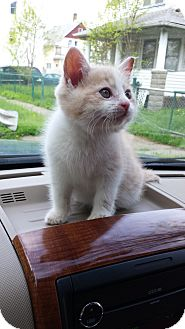 Domestic Shorthair Kitten for adoption in Cleveland, Ohio - Freddy