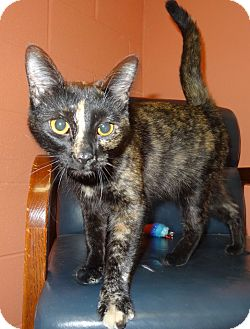 Domestic Mediumhair Cat for adoption in Lapeer, Michigan - MARNEY-SWEET TORTIE! URGENT!!!