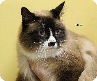 Ragdoll Cat for adoption in Hibbing, Minnesota - Tiffany