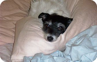 Schnauzer (Miniature)/Jack Russell Terrier Mix Dog for adoption in Allentown, Pennsylvania - Roxy