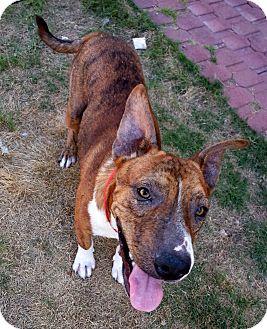 Shepherd (Unknown Type) Mix Dog for adoption in Sedona, Arizona - DOZER
