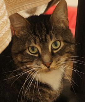 Domestic Shorthair Cat for adoption in Duluth, Georgia - Templeton