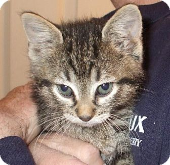 Domestic Shorthair Kitten for adoption in Lenexa, Kansas - Amor