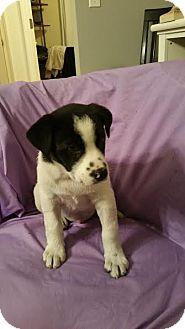 Labrador Retriever Mix Puppy for adoption in ST LOUIS, Missouri - Camray