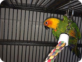 Conure for adoption in Punta Gorda, Florida - Mookie