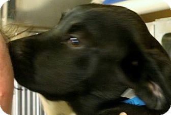 Labrador Retriever/Rottweiler Mix Puppy for adoption in Conway, New Hampshire - Taylor
