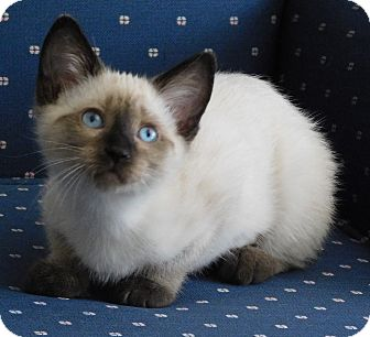 Siamese Kitten for adoption in Davis, California - Tahoe