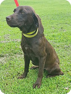 German Shorthaired Pointer Mix Puppy for adoption in Trenton, New Jersey - Kendra