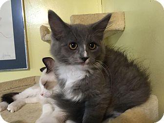 Domestic Mediumhair Kitten for adoption in Morgantown, West Virginia - Cupcake