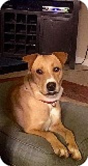 Labrador Retriever Mix Dog for adoption in Austin, Texas - Beth