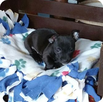 Jack Russell Terrier/Chihuahua Mix Puppy for adoption in Laingsburg, Michigan - Cami