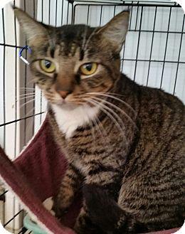 Domestic Shorthair Cat for adoption in Fallbrook, California - Jeri