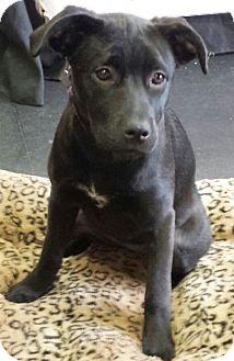 Labrador Retriever/Pit Bull Terrier Mix Puppy for adoption in Framingham, Massachusetts - Danica