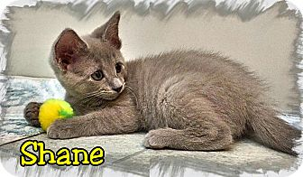 Domestic Shorthair Kitten for adoption in Atco, New Jersey - Shane