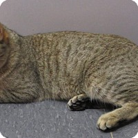 Adopt A Pet :: Isabelle (purebred Pixie-bob) - Witter, AR