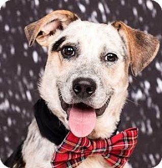 Australian Cattle Dog Mix Dog for adoption in Cincinnati, Ohio - Farley