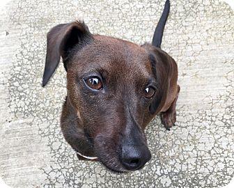 Dachshund Mix Dog for adoption in Eastsound, Washington - Taz