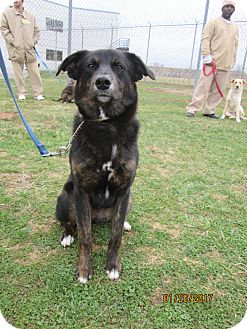 Anatolian Shepherd/Shepherd (Unknown Type) Mix Dog for adoption in LaGrange, Kentucky - MAVERICK