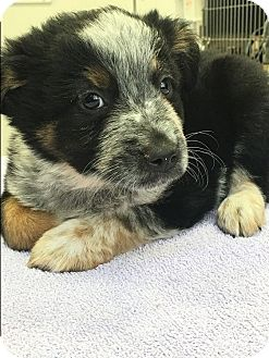 Australian Shepherd/Cattle Dog Mix Puppy for adoption in Houston, Texas - Tonka