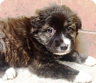 Australian Shepherd/Border Collie Mix Puppy for adoption in Oswego, Illinois - I'M ADOPTED Willie Wonka Grego