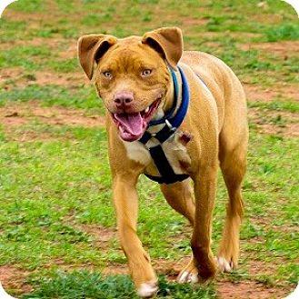 Boxer/Pit Bull Terrier Mix Puppy for adoption in Athens, Georgia - Otis