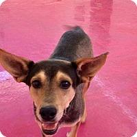 Adopt A Pet :: Brody - Chandler, AZ