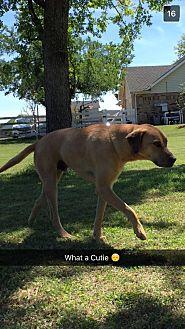 Black Mouth Cur/Labrador Retriever Mix Dog for adoption in Royse City, Texas - Benji
