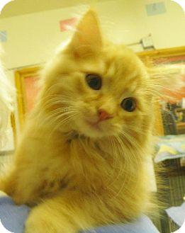 Domestic Longhair Kitten for adoption in Alturas, California - Seven Kittens