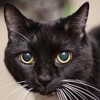 Adopt A Pet :: Obsidian - New York, NY