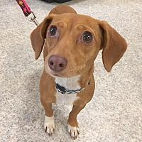 Dachshund Mix Dog for adoption in Smithtown, New York - Katara