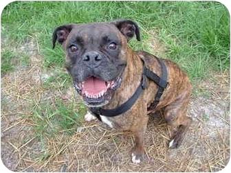 Boxer Dog for adoption in Julian, North Carolina - Rocky