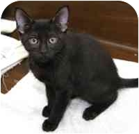 Domestic Shorthair Kitten for adoption in Tampa, Florida - Richie