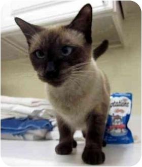 Siamese Cat for adoption in Albany, Georgia - Sapphire