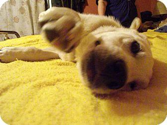 Labrador Retriever Mix Puppy for adoption in Hollis, Maine - Bo