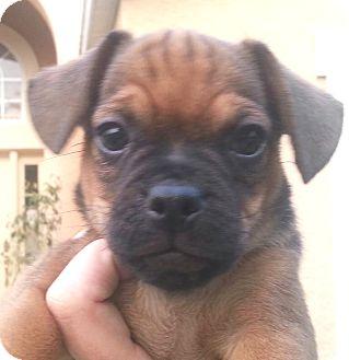 Pug/Dachshund Mix Puppy for adoption in Orlando, Florida - Lele#1M