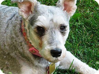 Schnauzer (Miniature)/Poodle (Miniature) Mix Dog for adoption in Sharonville, Ohio - Chrissy