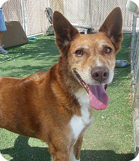 Cattle Dog Mix Dog for adoption in Phoenix, Arizona - Blaze