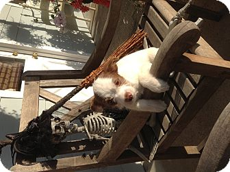 Poodle (Miniature)/Spaniel (Unknown Type) Mix Puppy for adoption in Santee, California - Bear