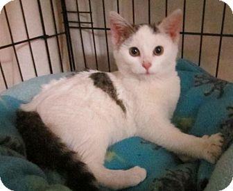Domestic Shorthair Kitten for adoption in Des Moines, Iowa - Gracie