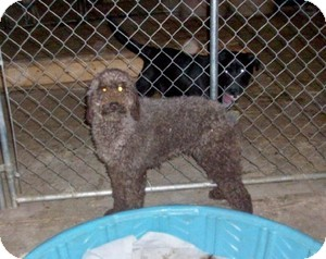 Poodle (Standard) Dog for adoption in Liberty Center, Ohio - Audrey