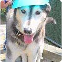Adopt A Pet :: Sheba - Huntington Station, NY