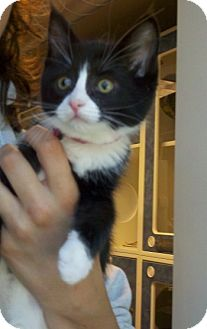 Domestic Shorthair Kitten for adoption in Bellingham, Washington - Ellie Mae