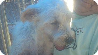 Schnauzer (Miniature) Dog for adoption in Crump, Tennessee - Star