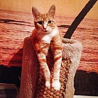 Domestic Shorthair Cat for adoption in Ladysmith, Virginia - Starla