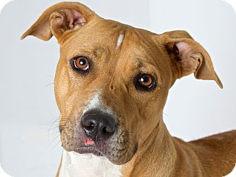 Labrador Retriever/American Pit Bull Terrier Mix Dog for adoption in San Andreas, California - CoCo Mandy