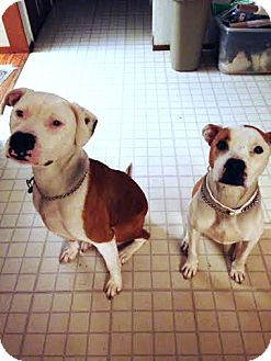 Pit Bull Terrier Mix Dog for adoption in El Dorado Hills, California - Zoe