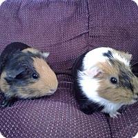 Adopt A Pet :: Snickers - San Antonio, TX