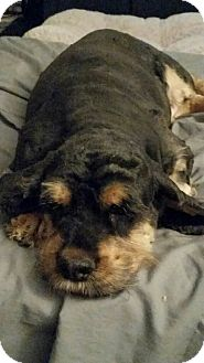 Cocker Spaniel Dog for adoption in Fairview Heights, Illinois - Ellen