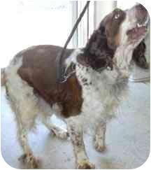 Springer Spaniel Dog for adoption in West Warwick, Rhode Island - Willie